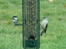 black-capped chickadee with Tufty