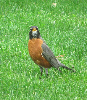 American robin, striped throat