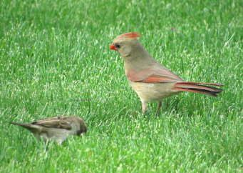 female cardinal, sparrows
