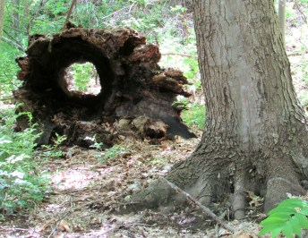 IMG_1771_log-tunnel-n-tree