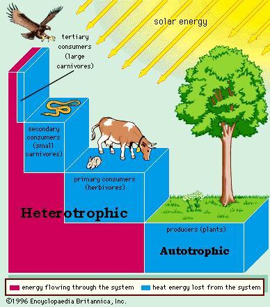 savanna animal food chain diagram club car forum ummundocatita tropical rainforest examples temperate grasslands