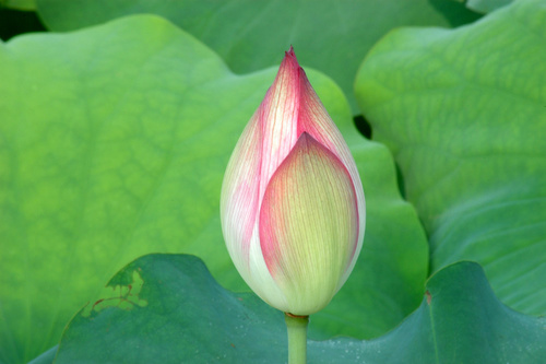 lotus bud in front of green leaf in summer