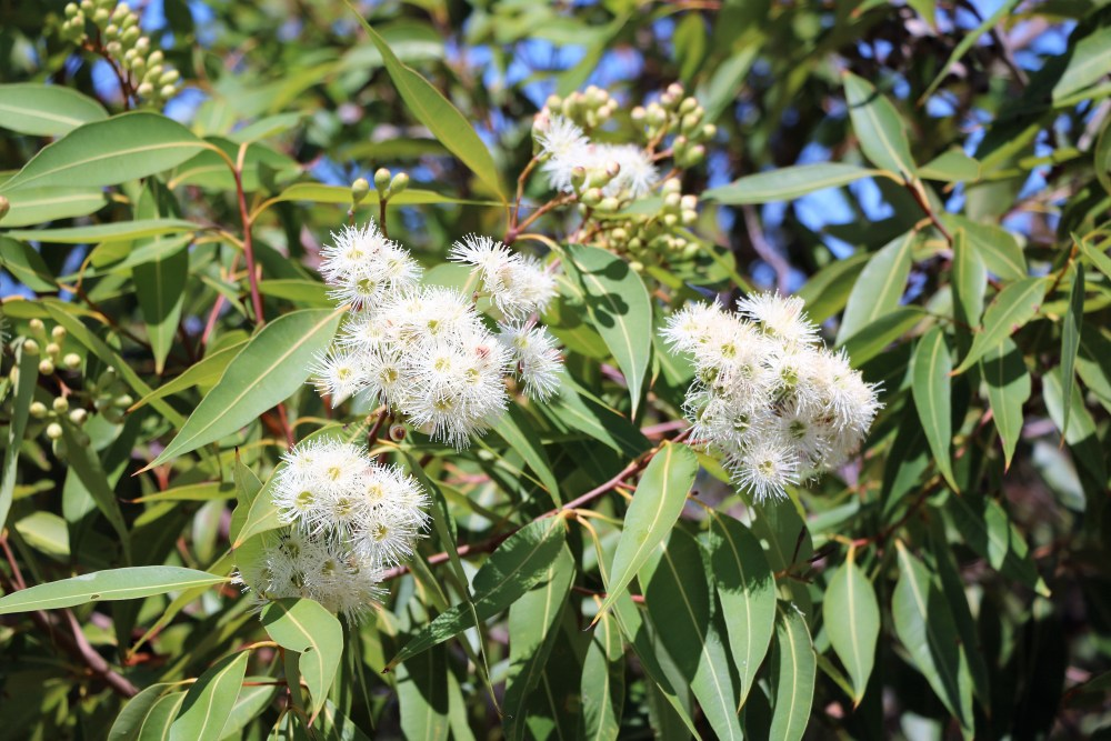 Eucalyptus branch with white flowers in Sydney, Australia