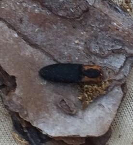 beetle-click-beetle-1-1-17