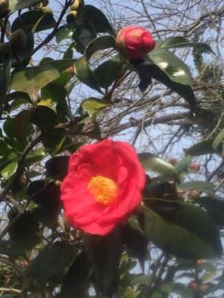 flower-spring-camillia-2