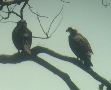 bird osprey chick in tree 2