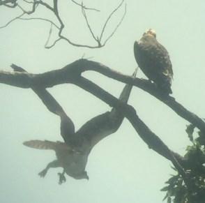 bird osprey chick in tree