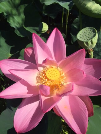 flower waterlily