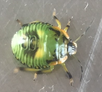 insect green beetle