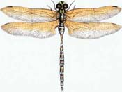 David M. Carroll dragonfly4