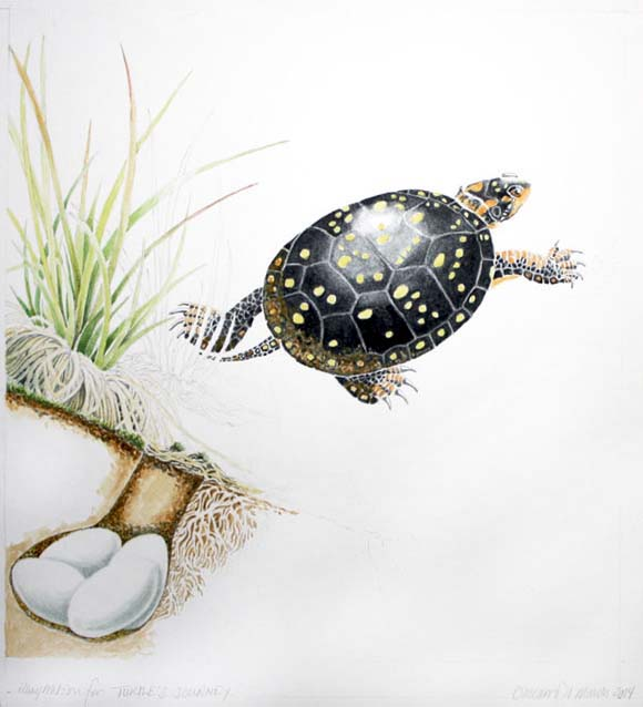Spotted Turtle Departing From Her Completed Nest