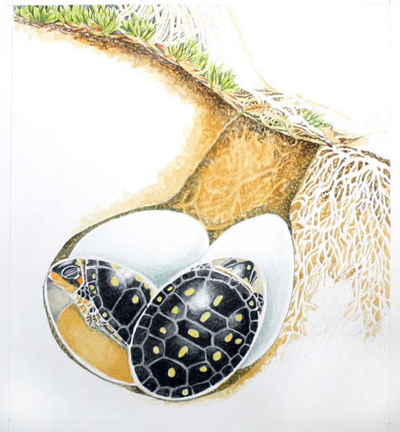 Hatchling Spotted Turtles Developing Within Their Eggshells