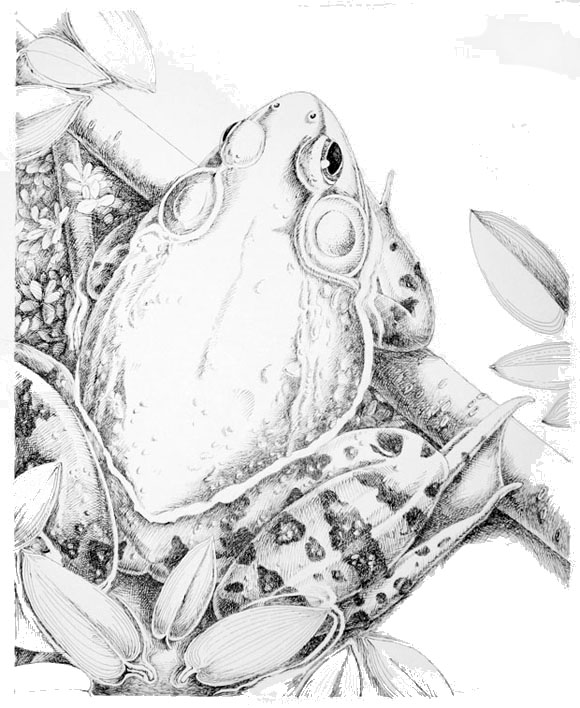 Bullfrog pen & ink drawing by David M. Carroll