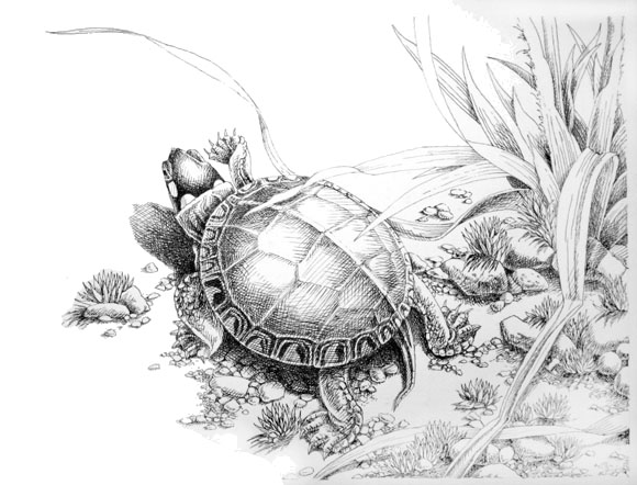 Hatchling Painted Turtle on Nest-to-Water Journey
