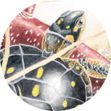 turtle-in-reeds-sketch2