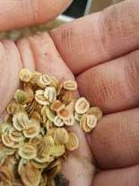 Parsnips White Gem seeds