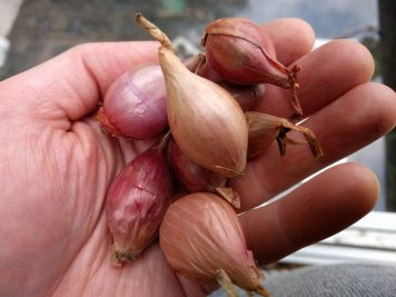 Red-winter-Onions