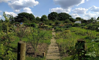 Carrot Tops Allotment My real view 9