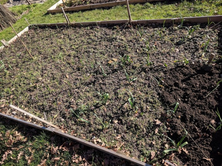 Weeding Onion and garlic patches 3