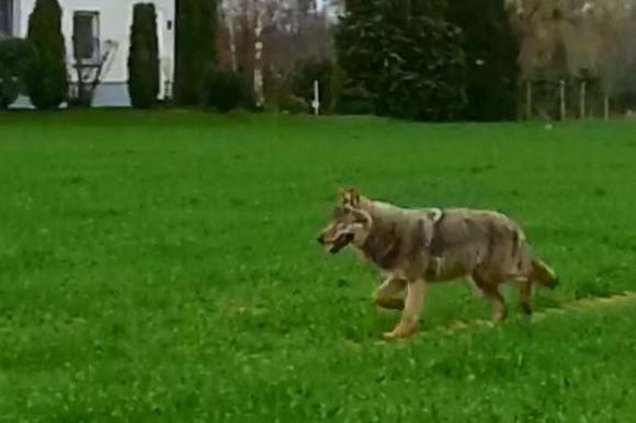 Wolf läuft bei Tage durchs Delbrücker/Rietberger Land