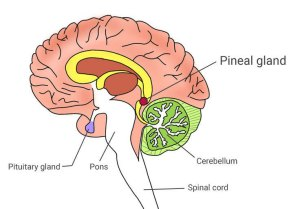 The Pineal's location within the brain