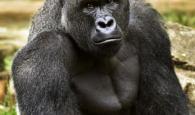 Gorila Harambe assassinado quando garoto caiu em sua jaula