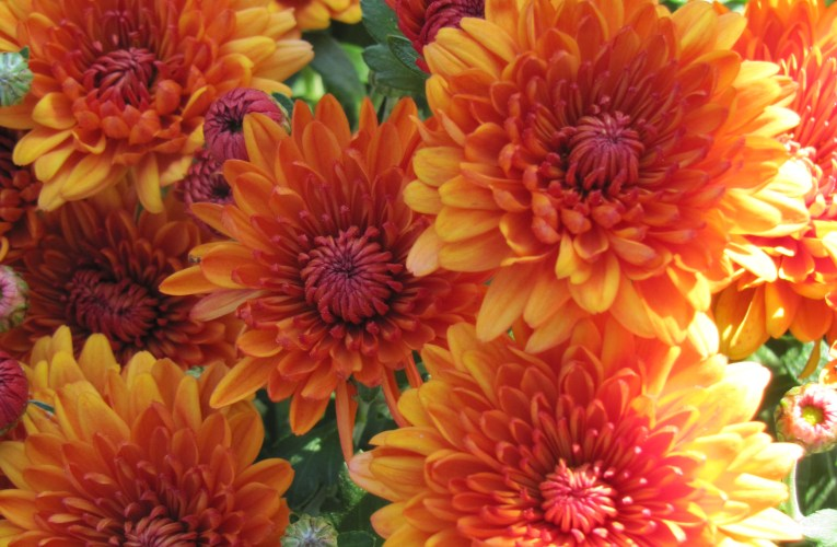 Extension Notes: Mums make the fall garden pop with color