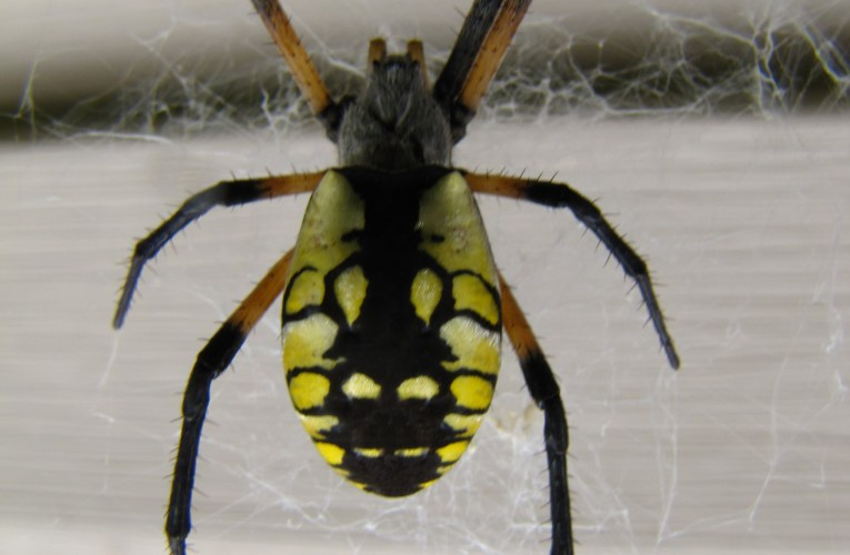 Extension notes: Welcome garden spiders