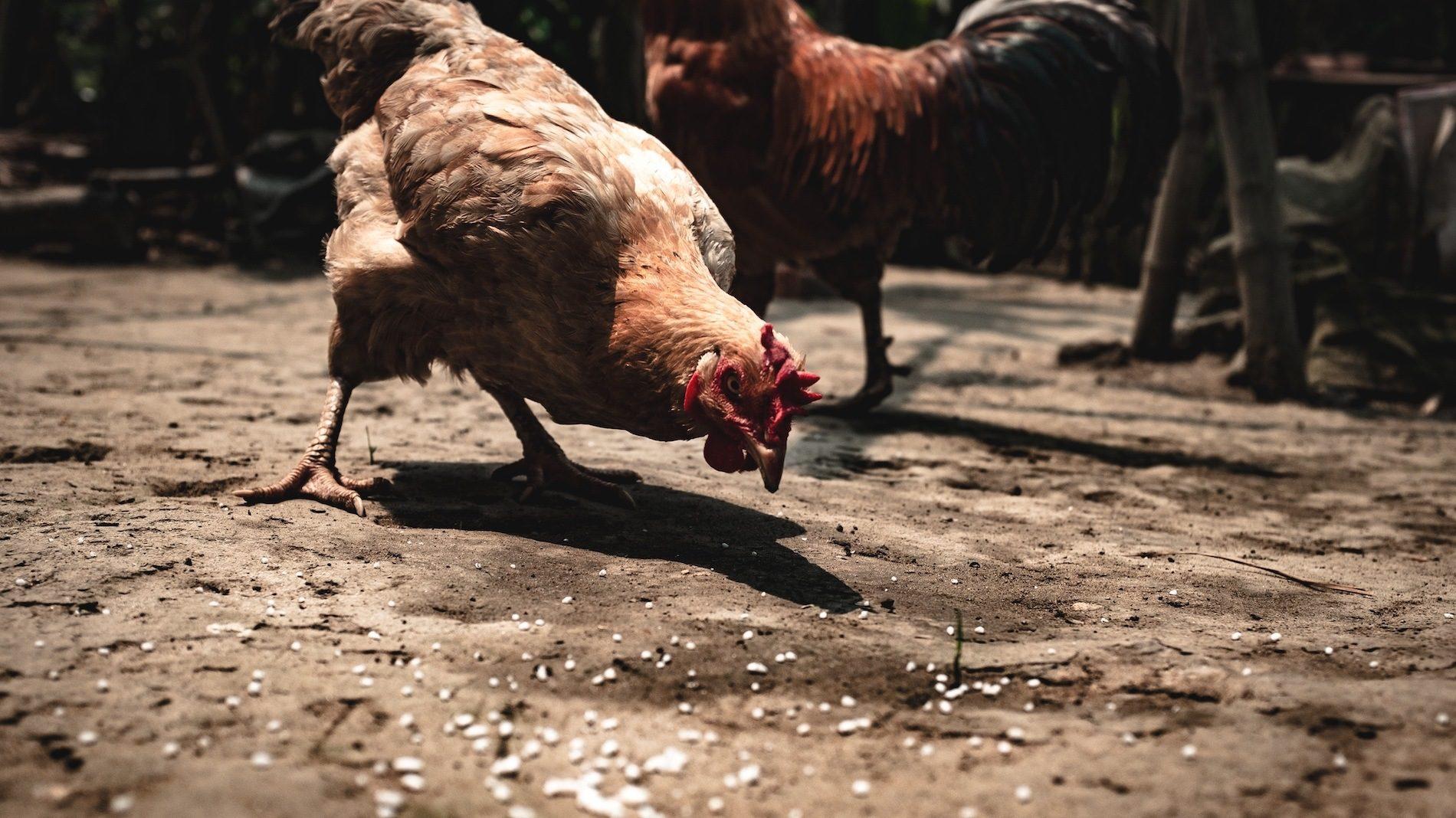 chicken-feeding