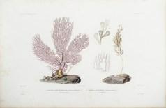 Gravure ancienne -Gorgone - Primnoa