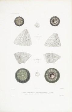 Gravure ancienne -Gorgone - Oursins à raies rouges