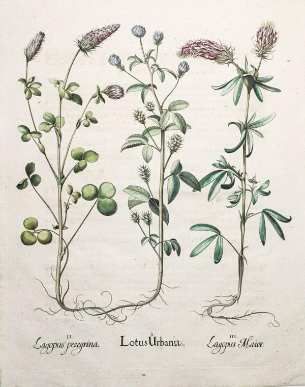 botanique gravure ancienne