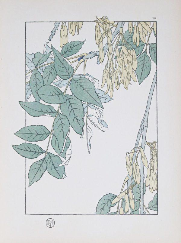 Gravure ancienne - Art Nouveau - Grand Frêne
