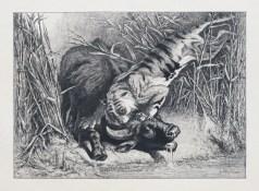 Tigre royal attaquant un buffle
