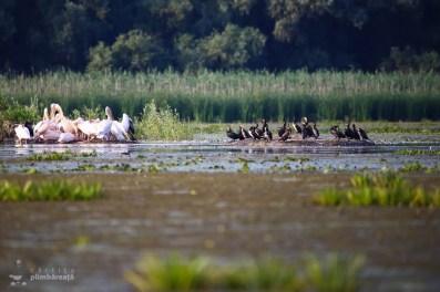 Adunare de pelicani si cormorani_3
