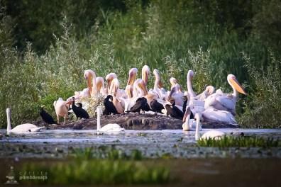 Adunare de pelicani si cormorani_4