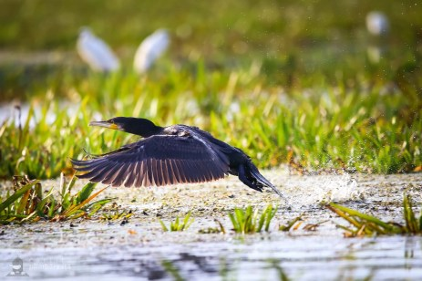 Cormoran - Phalacrocorax carbo_2