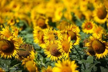 Dobrogea floarea soarelui _5