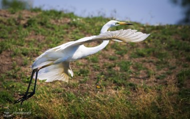 Egreta mare - Ardea alba_1