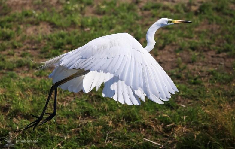Egreta mare - Ardea alba_2