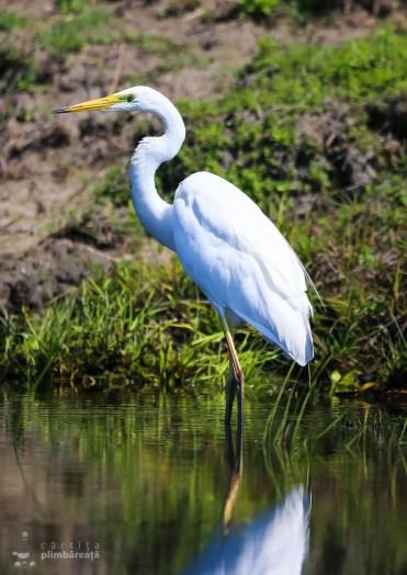 Egreta mare - Ardea alba_3