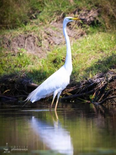 Egreta mare - Ardea alba_5