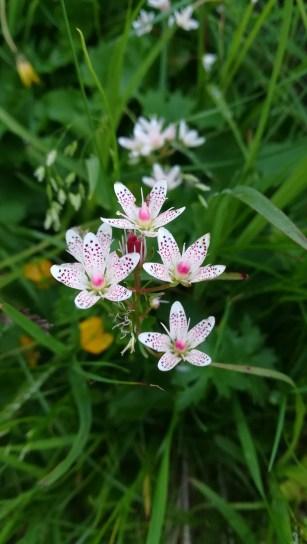 Saxifraga rotundifolia / Ochii soricelului ? / iulie / Muntii Fagaras / Huawei P10Lite