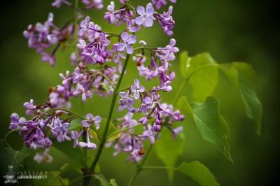 Liliac salbatic -Ciucarul Mic - Defileul Dunarii_1