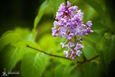 Liliac salbatic -Ciucarul Mic - Defileul Dunarii_4