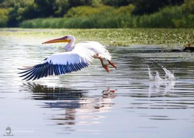Pelican comun - Pelecanus onocrotalus_6
