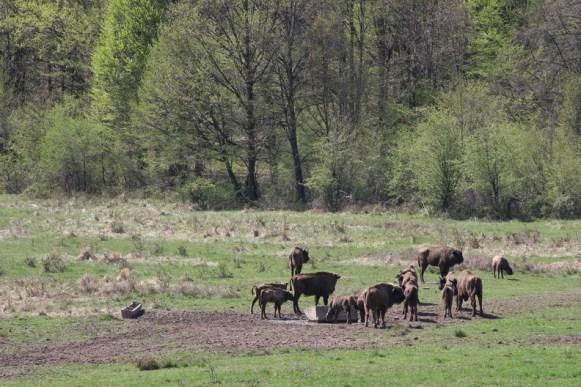 Rezervatia de zimbri Neagra de la Bucsani judetul Dambovita_09