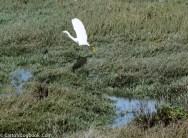 Great Egret, Palo Alto