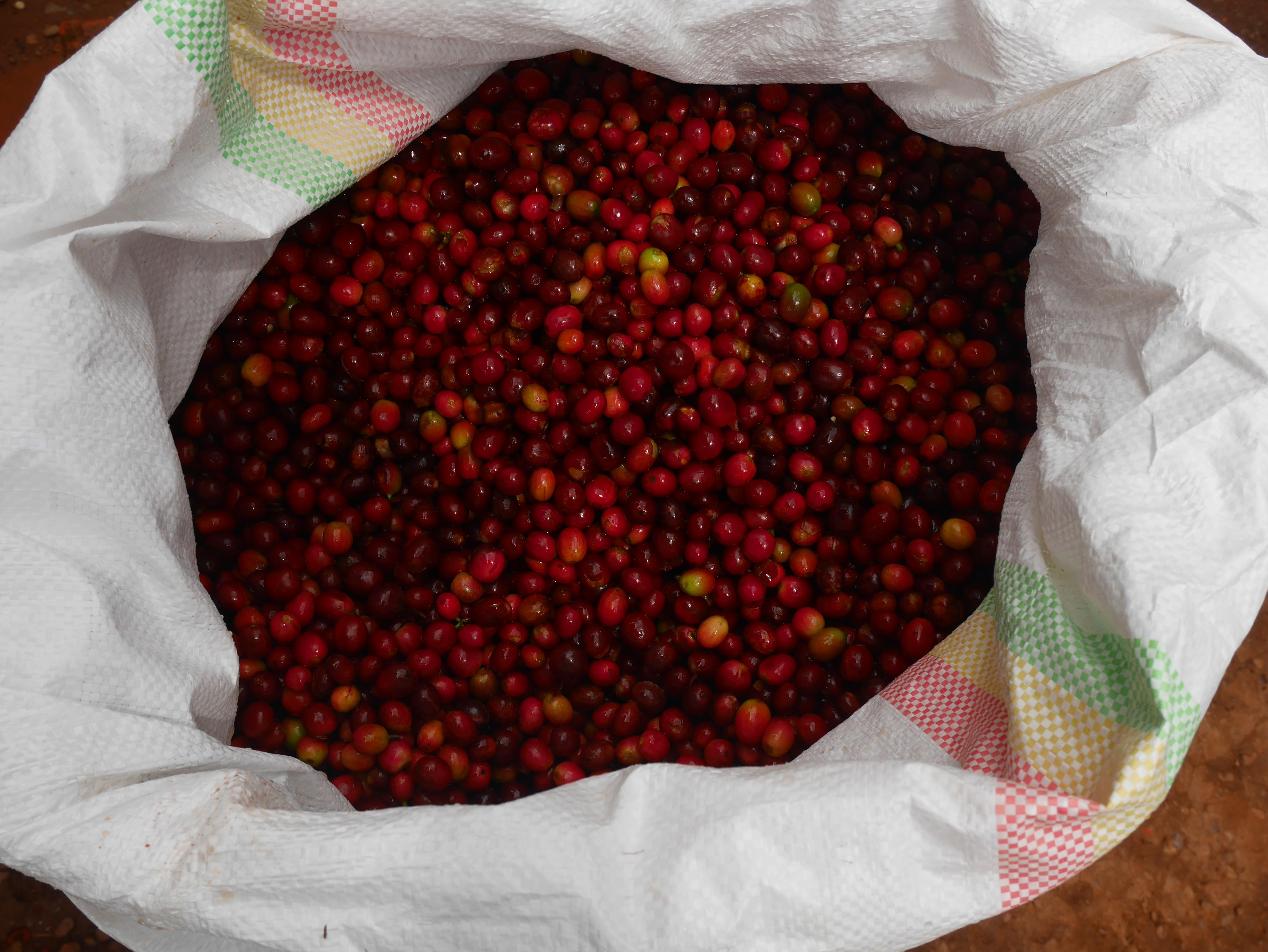musasa-cherries via @carvetiicoffee