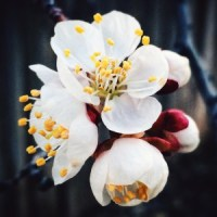 Apricot Blooms by Caryn Caldwell